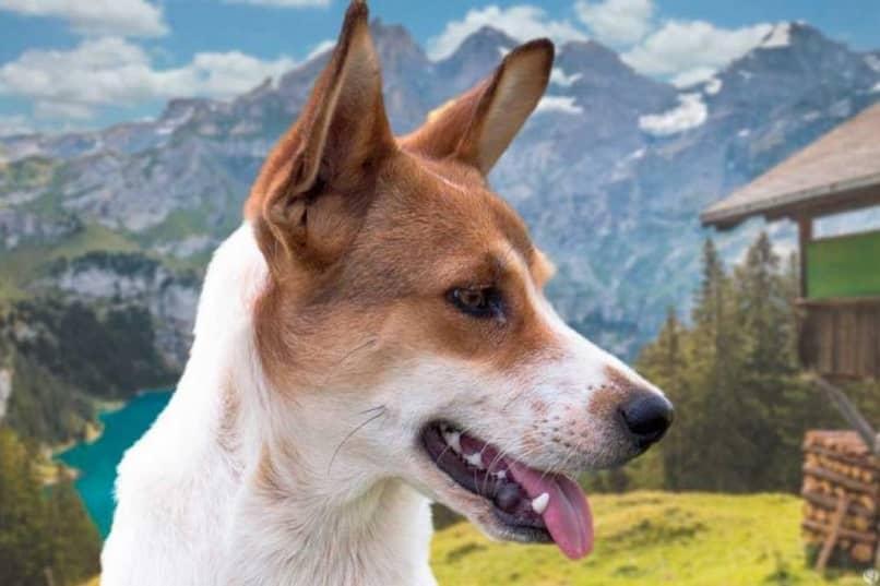 perro en los Alpes