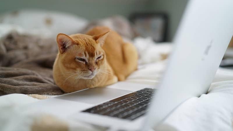 Gato naranja observando un portátil en una cama